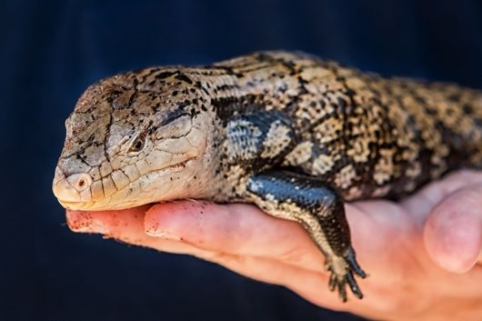 Blue-tongued Skink - popup