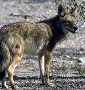 http://www.aquariumofpacific.org/images/olc/COYOTE4.jpgCoyote{/mainimageOLC} links to Coyote
