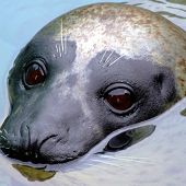 Harbor Seal - thumbnail