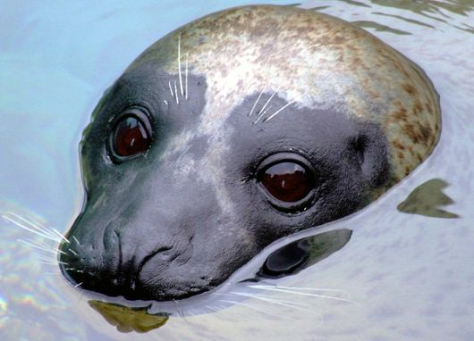 Harbor Seal - popup