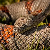Gray-Banded Kingsnake coiled - thumbnail