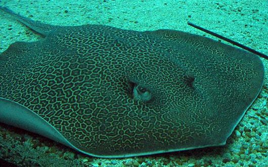 Reticulate Whipray