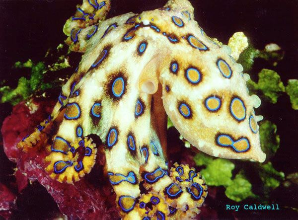 Greater Blue-ringed Octopus - lightbox