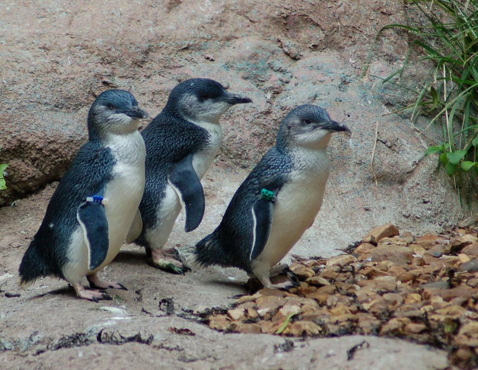 Little Blue Penguins trio walking - lightbox