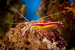 Pacific Cleaner Shrimp from the side links to Pacific Cleaner Shrimp
