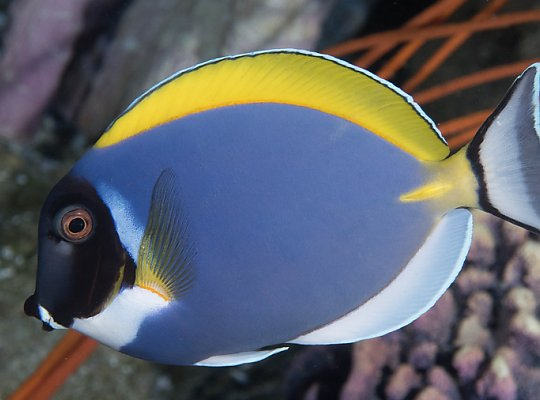 Powder Blue Tang - Acanthurus leucosternon - slideshow