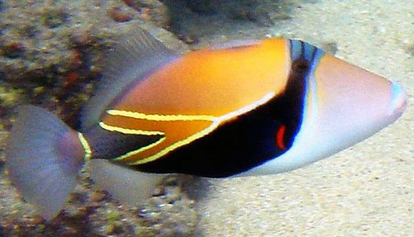 Wedge-tail Triggerfish - lightbox