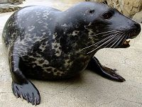 Harbor Seal Shelby - thumbnail