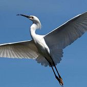 Snowy Egret links to Snowy Egret