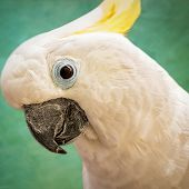 Sulphur-Crested Cockatoo side profile - thumbnail