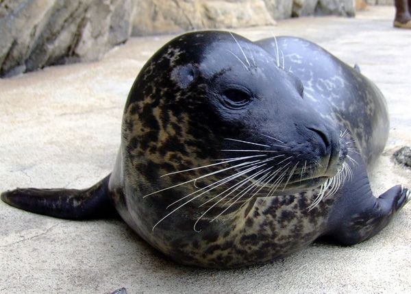 Harbor Seal Troy - lightbox