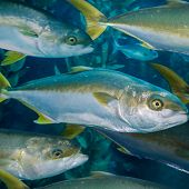 School of yellowtail - thumbnail