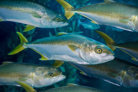 School of yellowtail