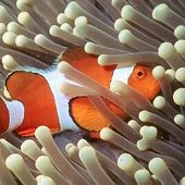 False Clown Anemonefish - thumbnail