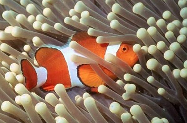 Aquarium of the pacific online learning center false for Clown fish habitat