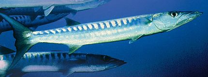 California Barracuda
