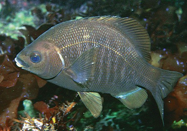 Aquarium of the pacific online learning center black perch for California saltwater fish species