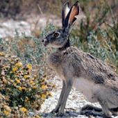Black-tailed Jackrabbit links to Black-tailed Jackrabbit