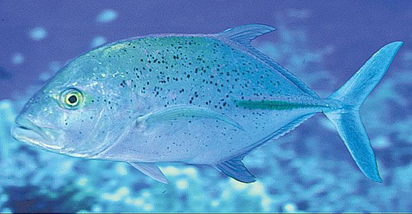 Trevally | Aquarium Of The Pacific Online Learning Center Bluefin Trevally