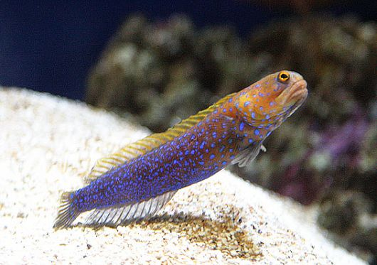 Bluespotted Jawfish