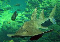 Bowmouth Guitarfish in greenish water - thumbnail