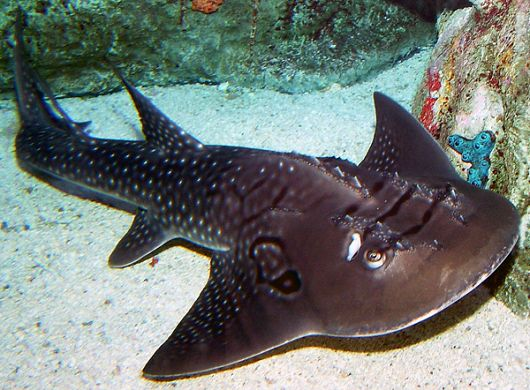 Bowmouth Guitarfish in exhibit - popup