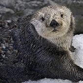 Southern Sea Otter links to Southern Sea Otter