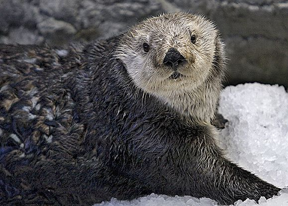 Southern Sea Otter - lightbox