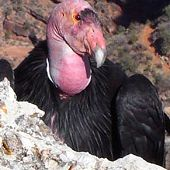 California Condor links to California Condor