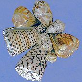 Cone snails on blue background - thumbnail