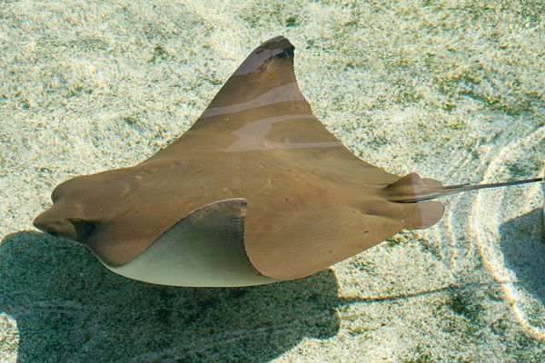 Pacific Cownose Ray - lightbox