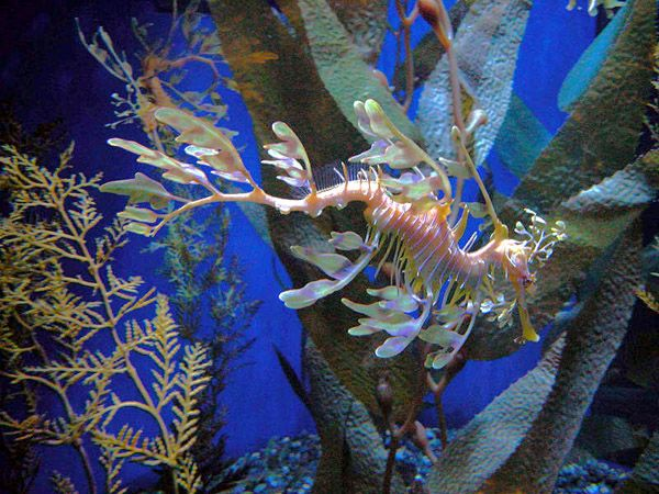 Leafy Sea Dragon in Exhibit - lightbox