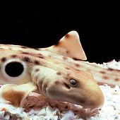 Epaulette Shark links to Epaulette Shark