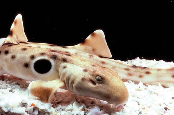 Epaulette Shark - lightbox