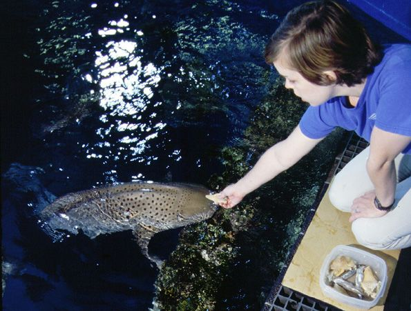 Feeding a Zebra Shark - lightbox
