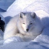 Arctic fox in snow - thumbnail