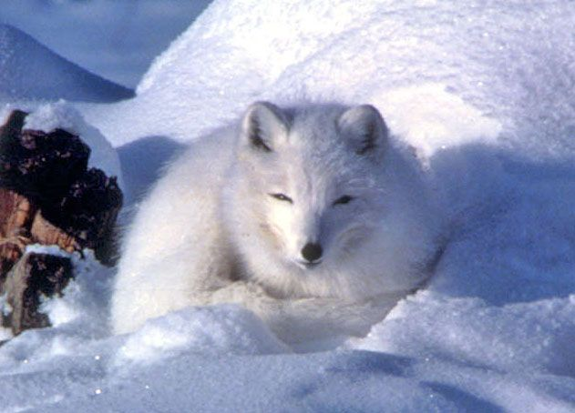 Arctic fox in snow - lightbox