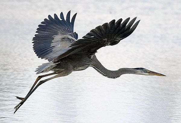 aquarium of the pacific online learning center great blue heron