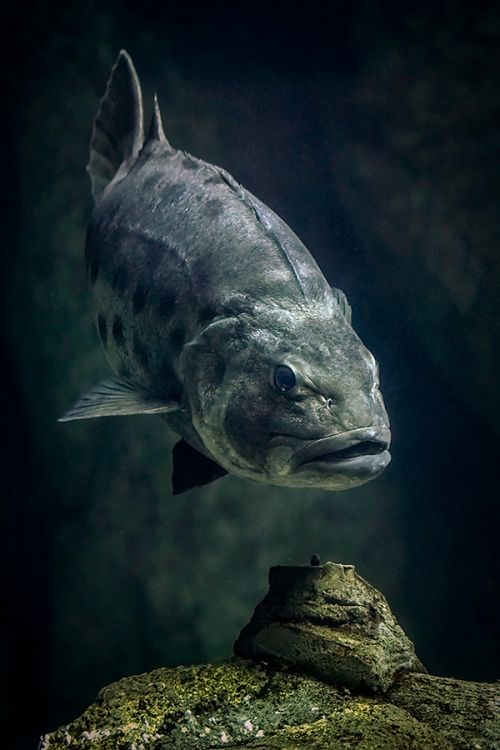 Giant Sea Bass Front View - lightbox