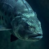 Giant Sea Bass Head View - thumbnail