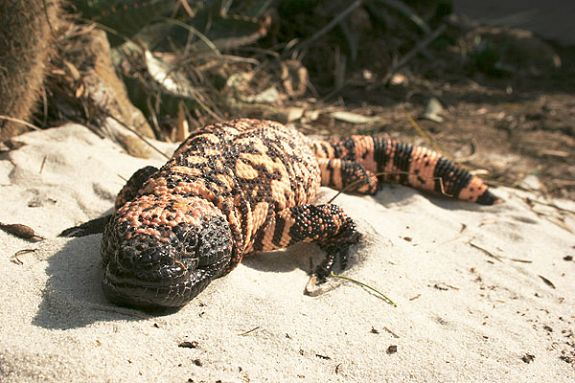 Southern Reticulated Gila Monster front view