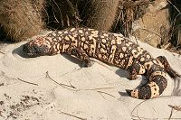 Southern Reticulated Gila Monster sideview - thumbnail