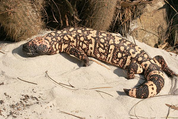 Southern Reticulated Gila Monster sideview - lightbox