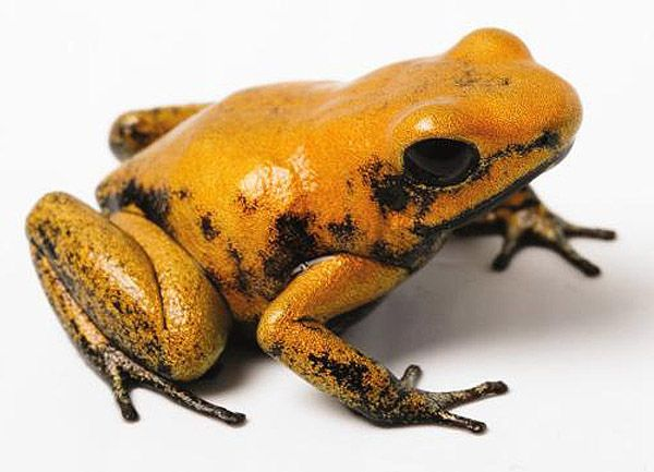 Golden Poison Dart Frog - lightbox