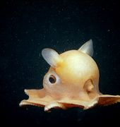 http://www.aquariumofpacific.org/images/olc/grimpo-2_med.jpgDumbo Octopus{/mainimageOLC} links to Dumbo Octopus