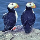 Horned Puffin Pair - thumbnail