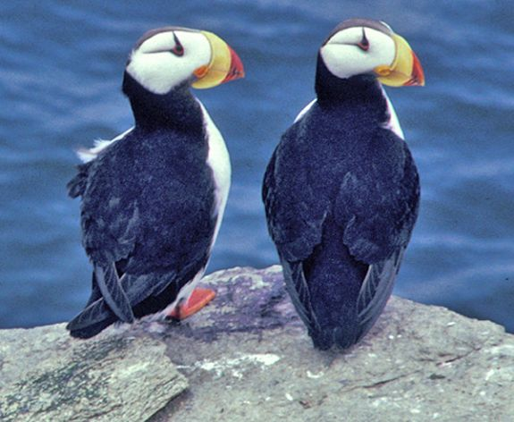 Horned Puffin Pair