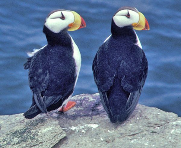 Horned Puffin Pair - lightbox