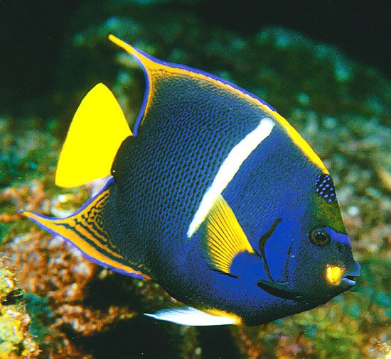 King Angelfish - lightbox