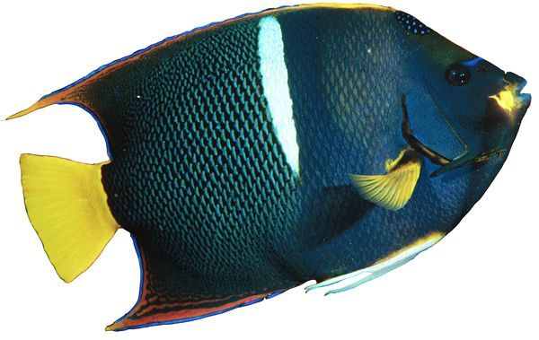 King Angelfish on White - lightbox